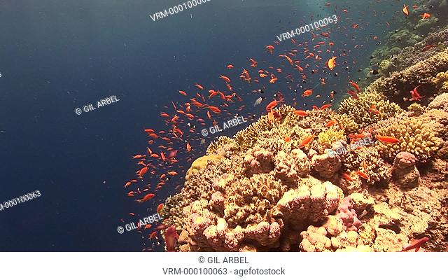 Anthias fish Pseudanthias squamipinnis and others. At reef drop off. Red Sea