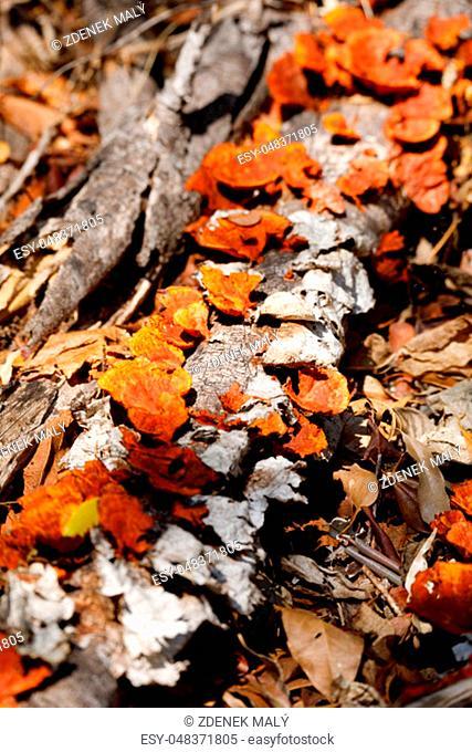 Orange mushroom pycnoporus on the trunk of a rainforest tree, Ankarafantsika National Park, Madagascar wilderness, Africa