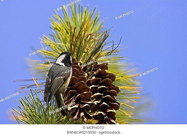 coal tit Parus ater, at pine cone, Germany, Rhineland-Palatinate