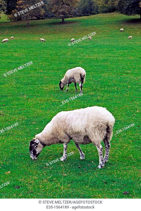 Throughout the English Midlands sheep raising is a major industry