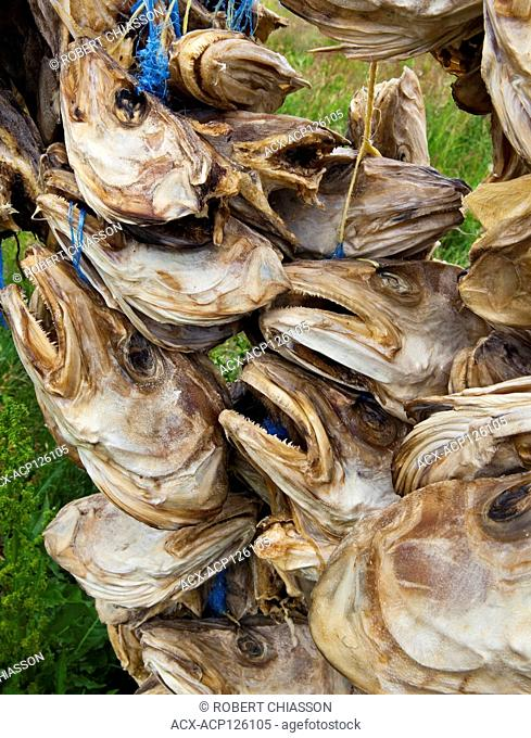 Dried cod heads suspended from drying racks next to the fish factory in Bordarfjordur Eystri, Iceland