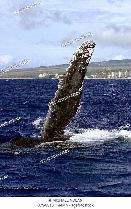 Adult Humpback Whale Megaptera novaeangliae pec-slapping in the AuAu Channel, Maui, Hawaii, USA