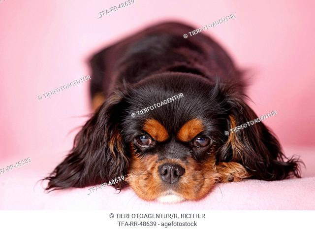 young Cavalier King Charles Spaniel