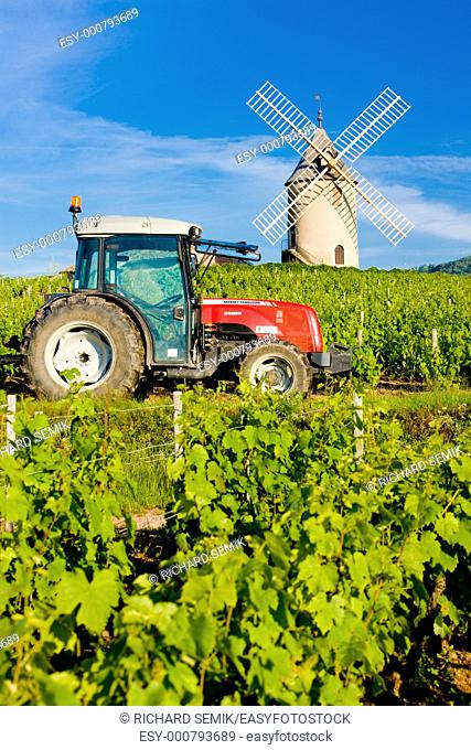 vineyards with windmill and tractor near Chénas, Beaujolais, Burgundy, France