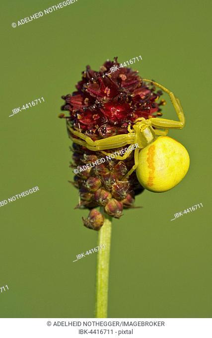 Crab spider (Misumena vatia) butterfly, on flower, Burgenland, Austria