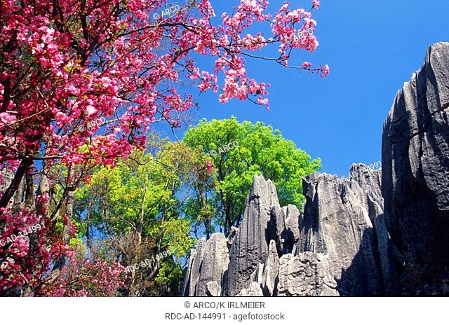 Cherry blossom Stone Forest Shilin Yunnan China