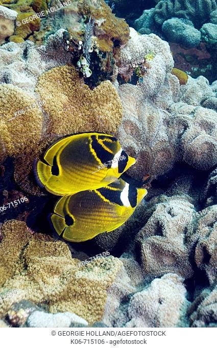 Racoon butterflyfish (Chaetodon lunula). Bali, Indonesia. (Digital capture)