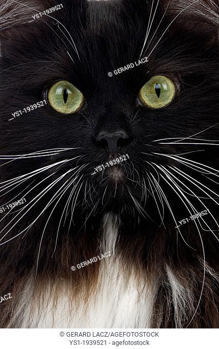 Black and White Siberian Domestic Cat, Portrait of Female