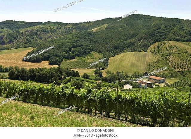 vineyards, montalto pavese, italy