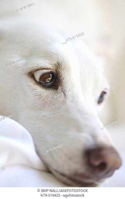 White dog's face