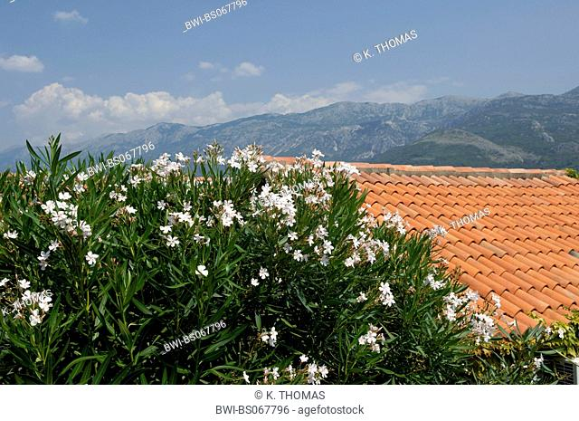 white oleander, Serbia-Montenegro, Montenegro, Sveti Stefan