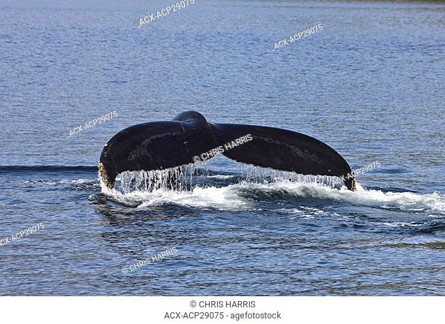 Humpback whale on the British Columbia central coast