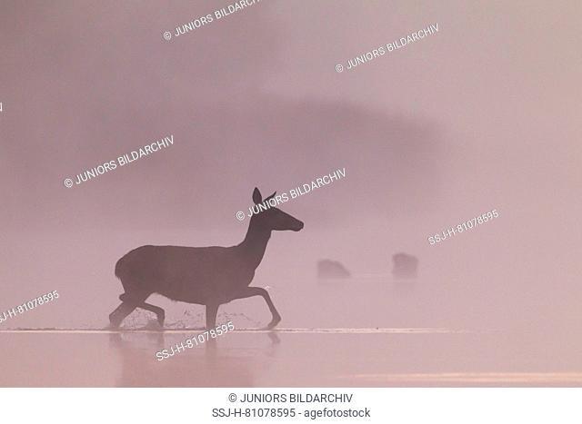 Red Deer (Cervus elaphus). Hind crossing a pond in first morning light. Germany