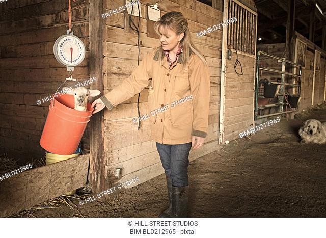 Caucasian farmer weighing lamb in barn