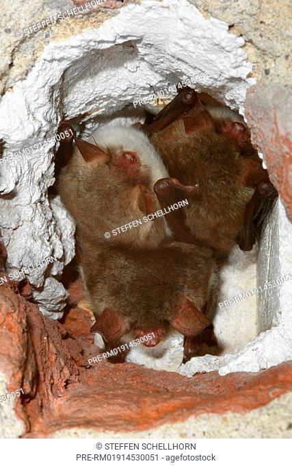 Natterer's bat, Myotis nattereri
