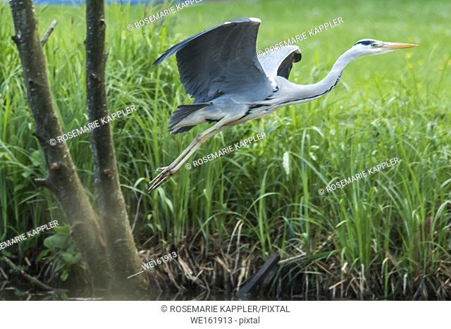 Germany, Saarland, Homburg - A grey heron is searching for fodder in Beeder Bruch