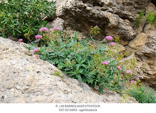 Red valerian (Centranthus ruber) is a perennial shrub native to Mediterranean Basin and Portugal. This photo was taken in Garraf Natural Park