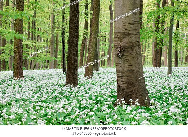 Beech tree forest (Deciduous forest) with Ramsons (Allium ursinum). Hainich National Park,  Thuringia (Thüringen / Thueringen), Germany, Europe