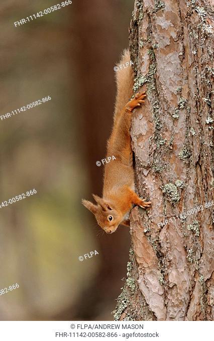 Eurasian Red Squirrel (Sciurus vulgaris) adult, descending Scots Pine (Pinus sylvestris) trunk in coniferous forest, Cairngorms N.P