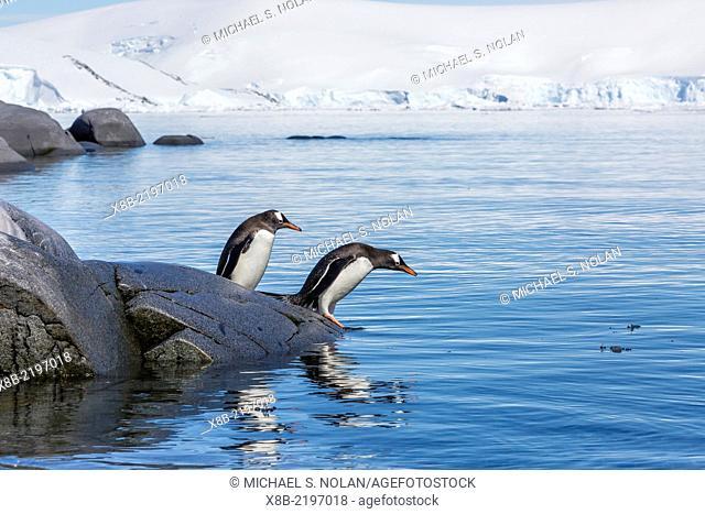 Gentoo penguin, Pygoscelis papua, retiring to the sea at Jougla Point, Wiencke Island, Antarctica