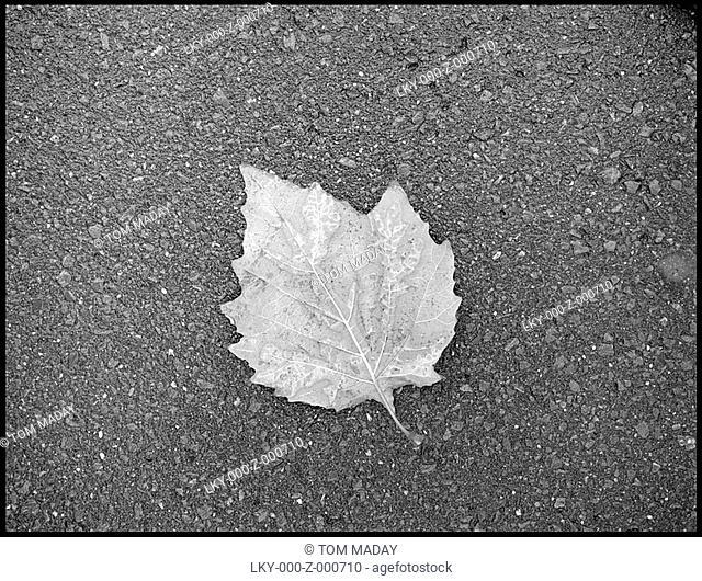Dead leaf on asphalt in Kyoto, Japan'