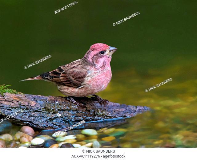 A male Purple Finch (Haemorhous purpureus), drinks from a backyard pond in Saskatoon, Saskatchewan