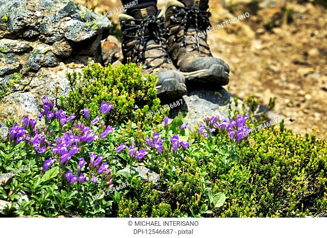 Purple wildflowers along a rocky pathway with hikers boots in the background; British Columbia, Canada