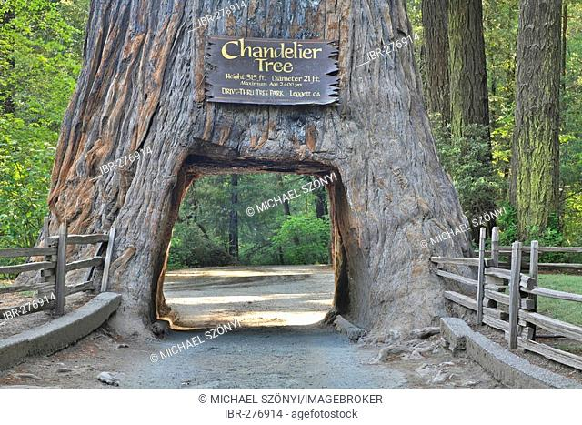 A Redwood (Sequoia sempervirens) through which one can drive in the Chandelier Drive-Thru Park, California, USA