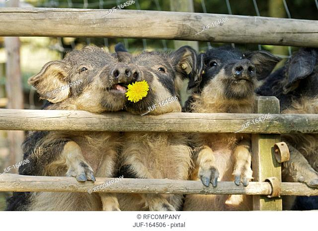 Mangalitza pigs at fence