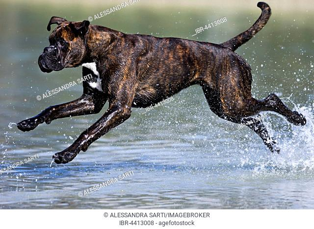 Boxer running in water, Austria
