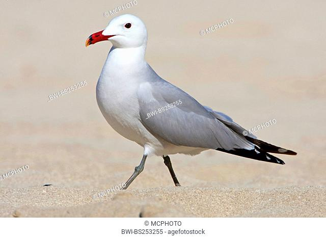 Audouin's gull Larus audouinii, walking in the sand, Spain, Balearen, Majorca