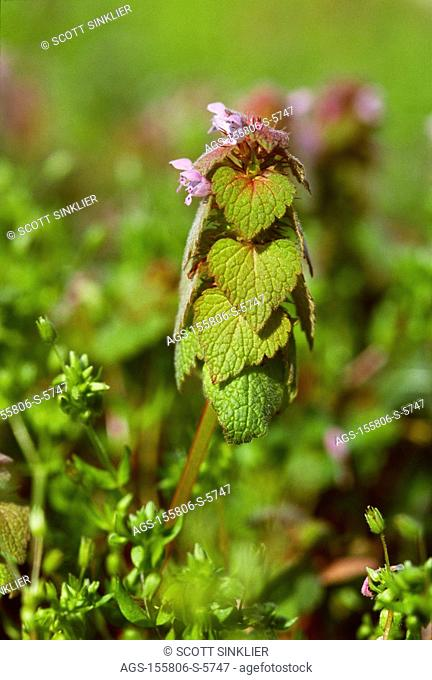 Agriculture - Weeds, closeup of Purple Deadnettle Lamium purpureum in early spring prior to an application of burndown herbicide / Ohio, USA
