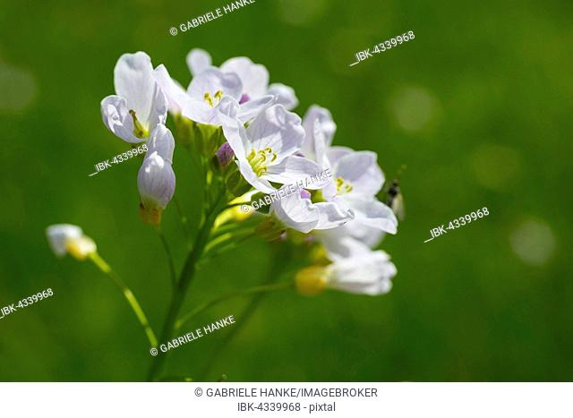Blooming Cuckoo Flower (Cardamine pratensis, Saxony, Germany