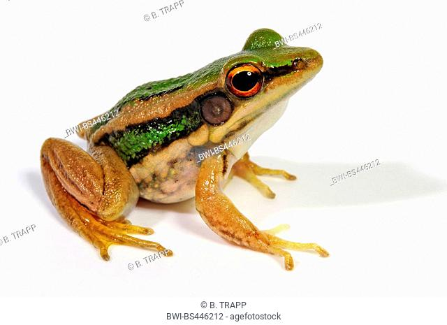 common green frog, green paddy frog, red-eared frog, leaf frog (Hylarana erythraea, Rana erythraea), cutout