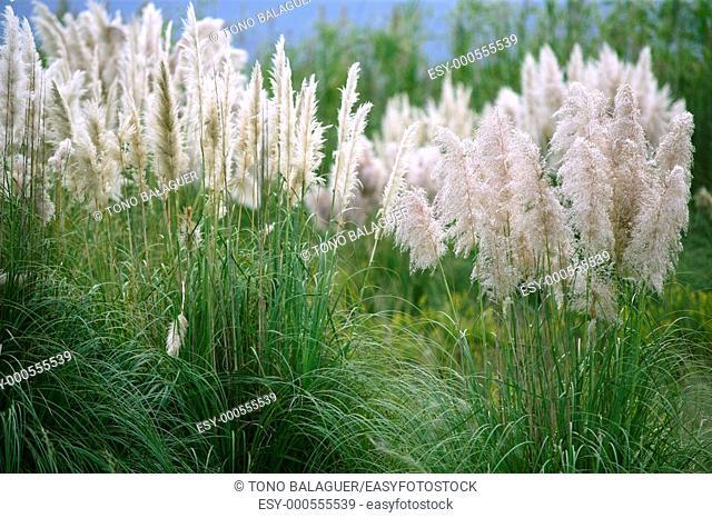 Cortaderia selloana, Poaceae wild spike savana flower background