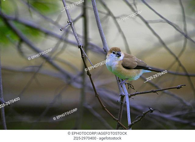 Indian silverbill or white-throated munia, Euodice malabarica, Jaisalmer, Rajasthan, India