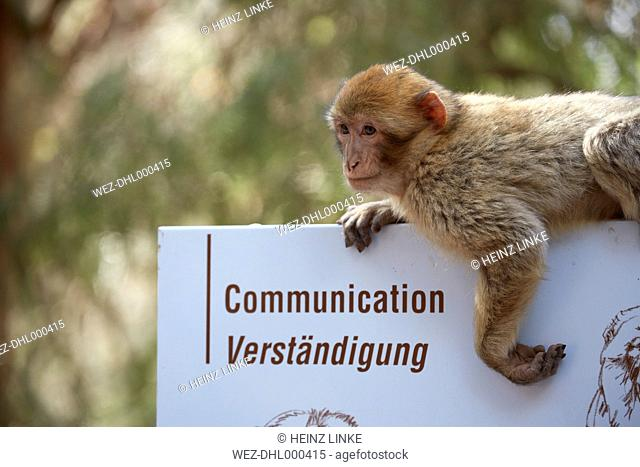 France, Alsace, Kintzheim, La Montagne des Singes, barbary macaque (Macaca sylvanus) hanging on sign