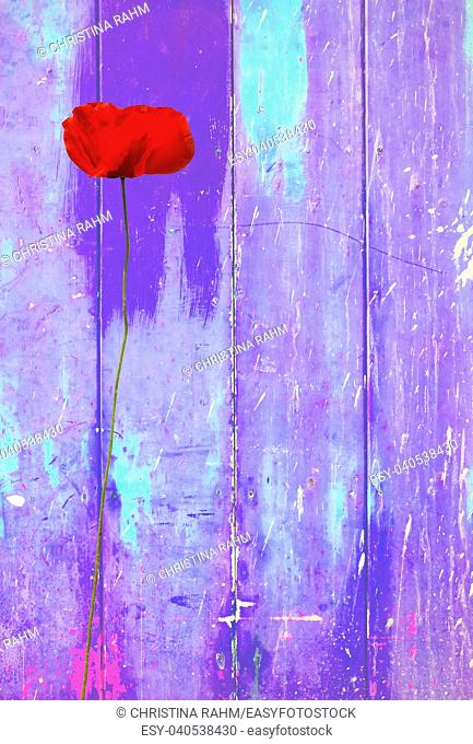 Red poppy on purple colorful vintage background with shabby distressed grungy texture hippie style