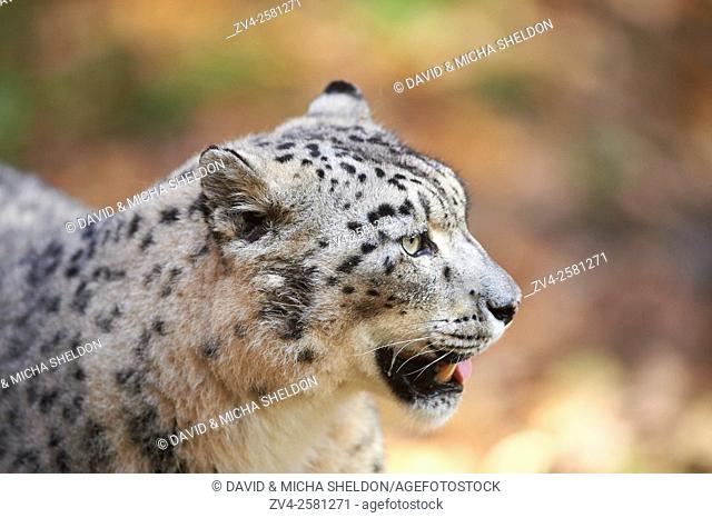 Portrait of a snow leopard (Panthera uncia syn. Uncia uncia) in autumn. Captive. Germany