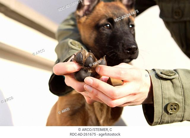 Belgian Malinois checking paw of puppy