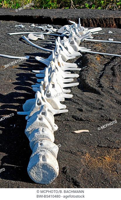 Whale bones on rocks in IEspinosa Point in Fernandina in Galapagos Islands , Ecuador, Galapagos Islands, Fernandina