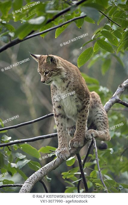 Eurasian Lynx ( Lynx lynx ), adult, sitting in a bush or a tree, observing sth. beneath him, Europe