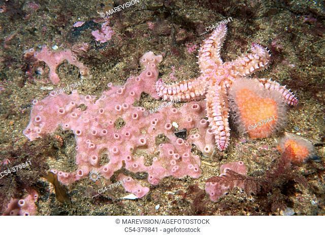 Benthos community: sponge and starfish. Galicia, Spain