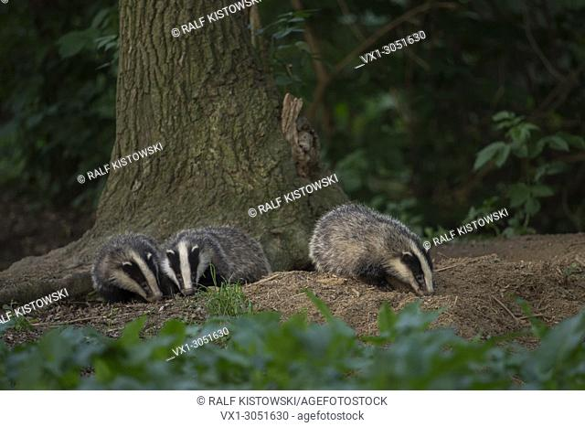 European Badgers ( Meles meles ), young animals, cubs, playing under a tree, close to the badger set, wildlife Europe