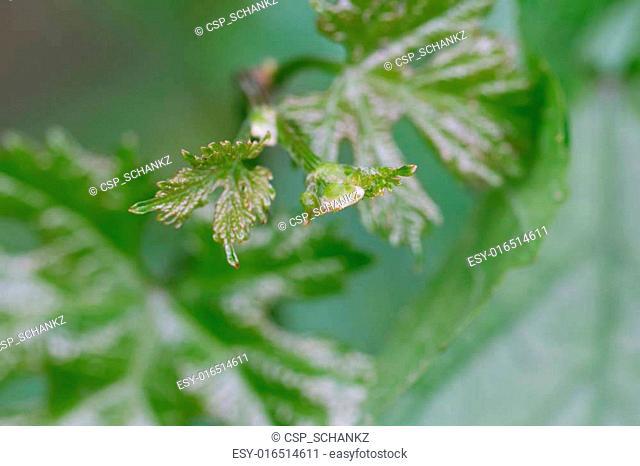 vine shoots in nature. macro