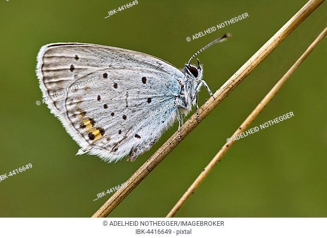 Short-tailed blue (Cupido argiades) butterfly, Burgenland, Austria