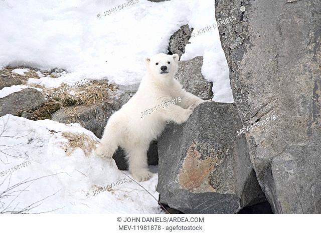 Mammal. Polar Bear cub, 4 month old cub in the snow