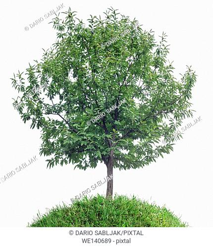 Chestnut Tree Isolated on White Background