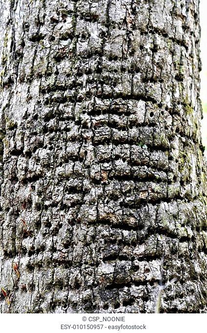 Woodpecker Damaged Tree