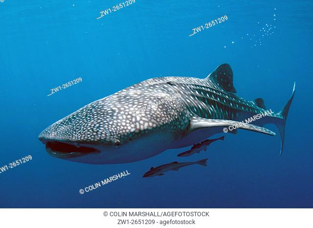 Whale Shark (Rhincodon typus) with Remoras blowing bubbles, Cenderawasih (Bird of Paradise) Bay, West Papua, Indonesia